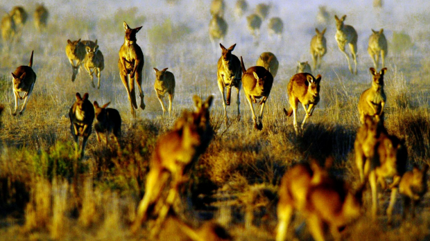 Article image for Thousands of Kangaroos rescued from urban Melbourne every year