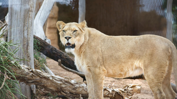 Article image for Four lion cubs born at Werribee Open Range Zoo