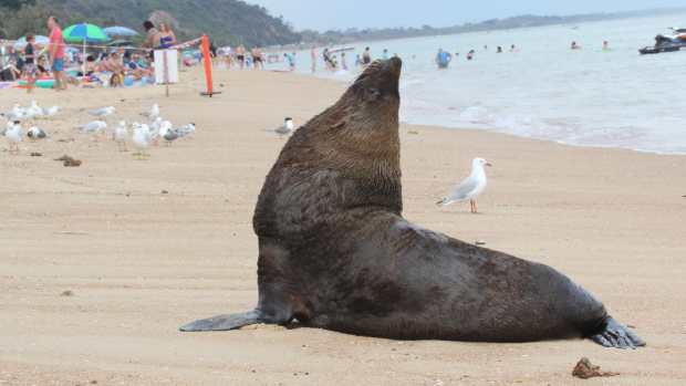 Article image for Arcto the seal is back and enjoying Dromana Beach