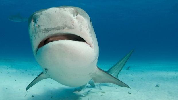 Article image for Melbourne scientists using shark blood to treat human health problems