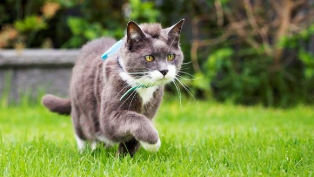 Article image for University of South Australia researchers find roaming cats are reaching extraordinary lengths
