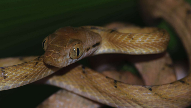 Article image for Middle-aged men are the most common victims of rare fatal snake bites