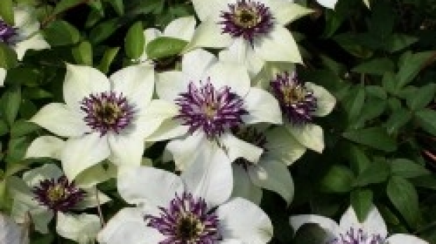 Article image for Jane's Plant of the Week