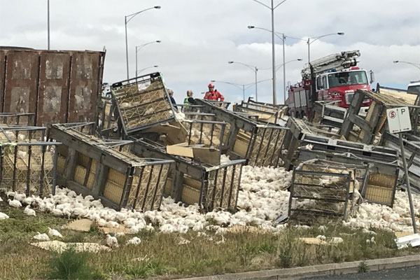 Article image for Chicken carnage after truck roll-over near Geelong