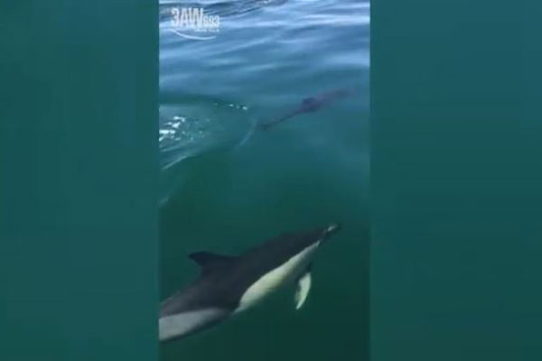 Article image for VIDEO: Pod of dolphins captured cruising off Mornington