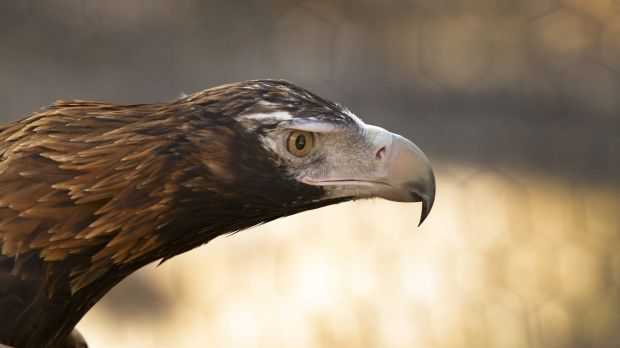Article image for Are wedge-tailed eagles snatching dogs?