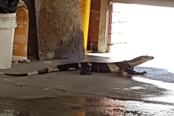 Article image for Found! Joanna the goanna returns home safe and sound