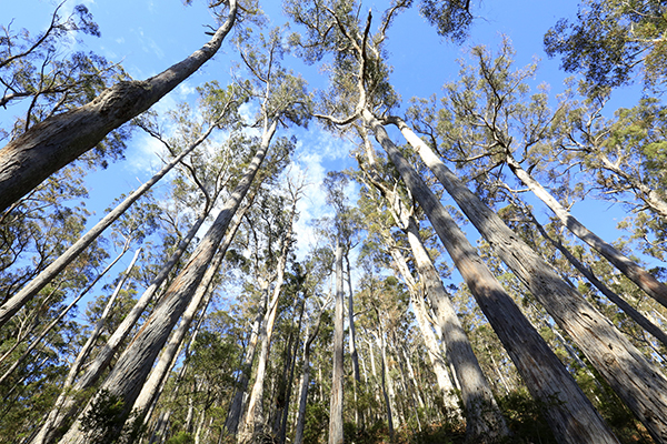 Article image for Rumour File: Gum trees dying in the Dandenong Ranges