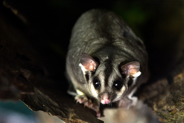 Article image for Possums a person of interest in spread of flesh-eating ulcer