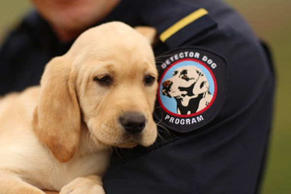 Article image for Foster carers needed for cutest crime-fighting pups this side of the border