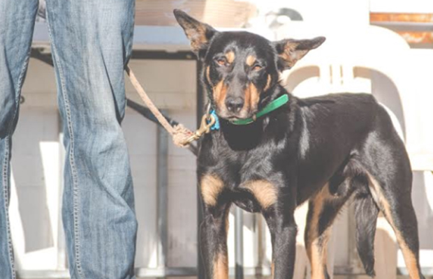 Article image for This kelpie called Seven sold for a world record price — and it actually seems like good value