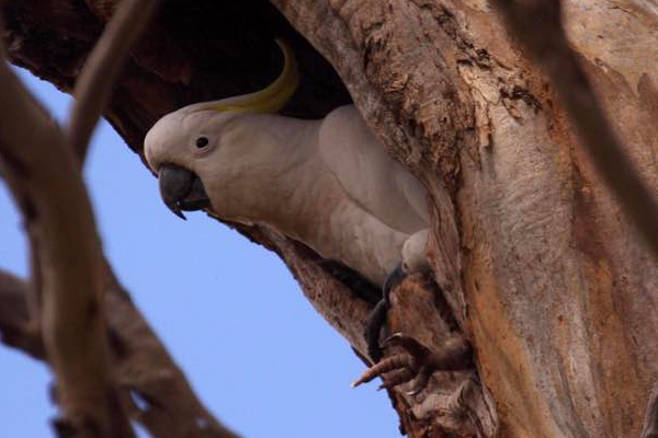 Article image for A cockatoo has been saved after getting stuck in a tree