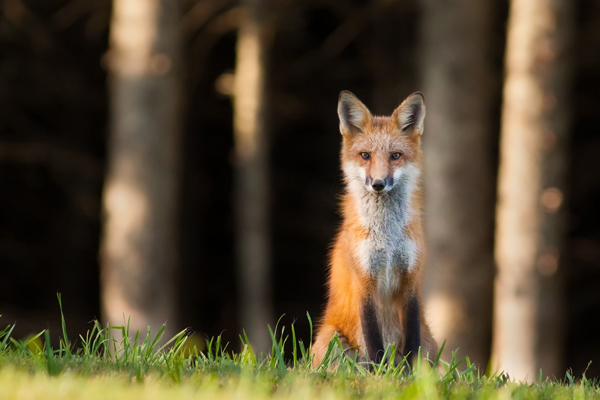 Article image for Rampant population of 20 million feral cats and foxes the biggest threat to endangered native animals