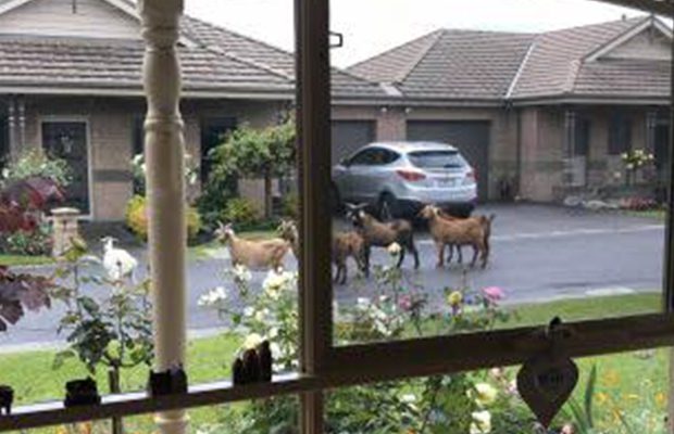 Article image for Word On The Street: There's a pack of loose goats roaming around Cranbourne