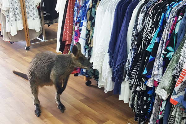 Article image for Fashionable wallaby hops in to Portland shop