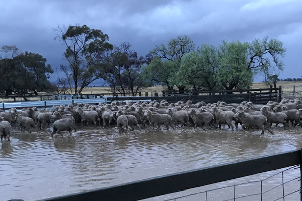 Article image for Farmers lose livestock in flooding caused by Thursday's downpour