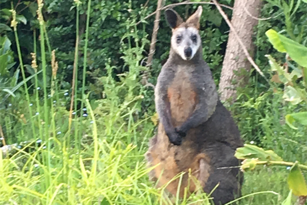 Article image for White-faced kangaroo spotted in Waratah Bay