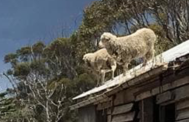 Article image for Woolly jumpers: How did these sheep get up here?