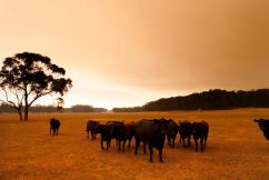Red tape madness as cattle starve