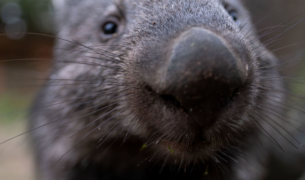 Article image for Wombats now protected from hunters as legal 'loophole' is closed