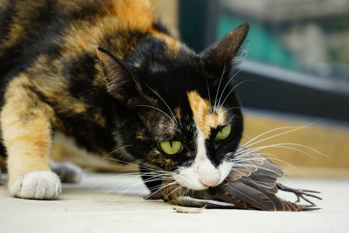 Article image for The 'staggering' number of native animals the average pet cat kills every year