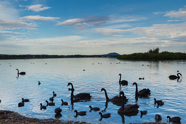 Article image for Ballarat locals 'horrified' after swans found decapitated