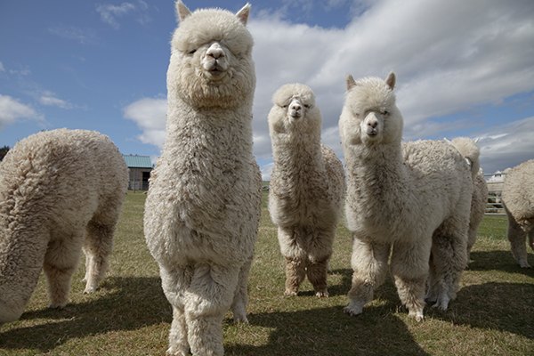 Article image for How alpacas could be the key to finding a COVID-19 cure