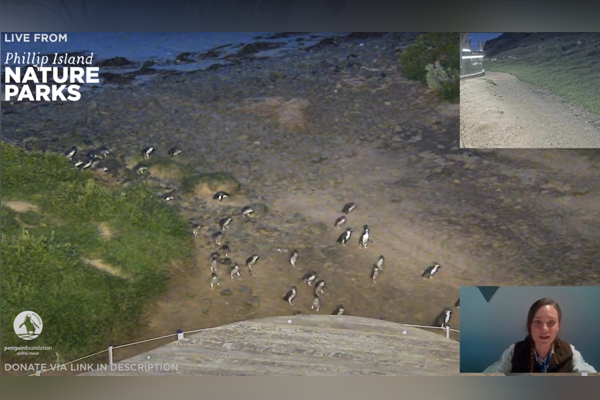 Article image for Watch the Phillip Island Penguin Parade from your living room