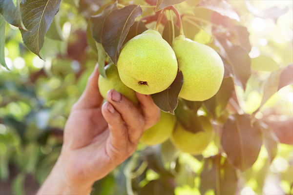 Article image for Still no solution to Victoria's fruit picking shortage