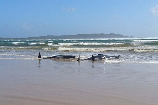 Article image for How rescuers plan to save hundreds of whales stranded off Tasmania's west coast