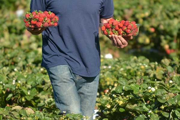 Article image for Fruit and vegetable shortages likely as Australian farm work crisis reaches breaking point