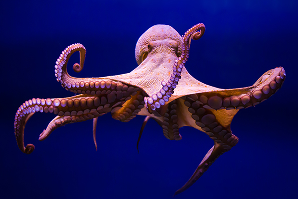 Article image for Why octopuses have been spotted punching fish