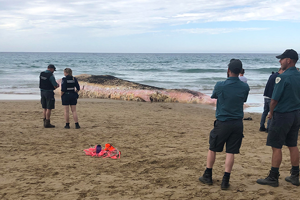 Article image for Shark warning after 'enormous' whale washes up on Great Ocean Road beach