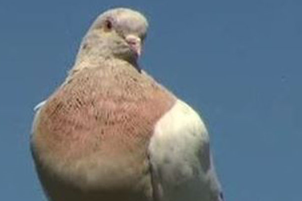 Article image for Fake! Joe the pigeon exposed as local bird