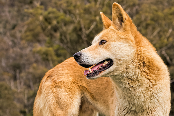 Article image for Plan to reintroduce dingoes in the Grampians
