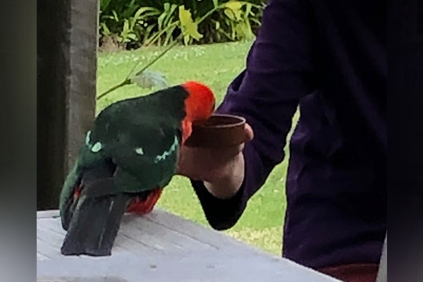 Article image for Neil Mitchell's close encounter with a king parrot