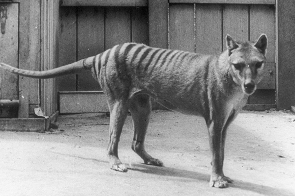 Article image for Man remains 'absolutely convinced' he has photos of Tasmanian Tiger family