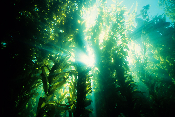 Article image for Why a Victorian diver has started a kelp farm (it's not for the produce)