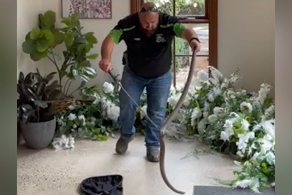 Article image for VIDEO: Massive deadly snake captured at Victorian winery