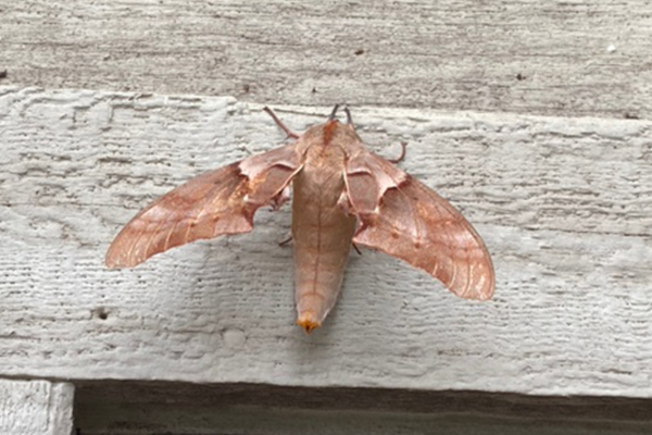 Article image for What is this? Neil Mitchell needs your help identifying this moth