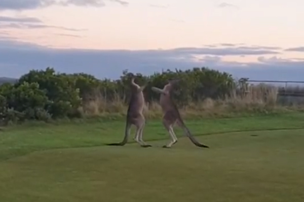 Article image for VIDEO: 'Enormous' kangaroos punch on at Mornington Peninsula golf course