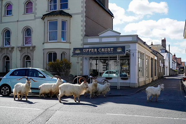 Article image for How COVID-19 led to goats 'taking over' a Welsh town