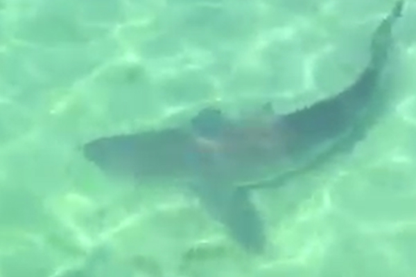 Article image for Shark spotted swimming off popular pier on the Mornington Peninsula!