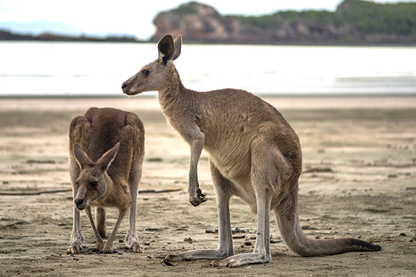 Article image for How kangaroos could speed up recovery from ligament and tendon injuries