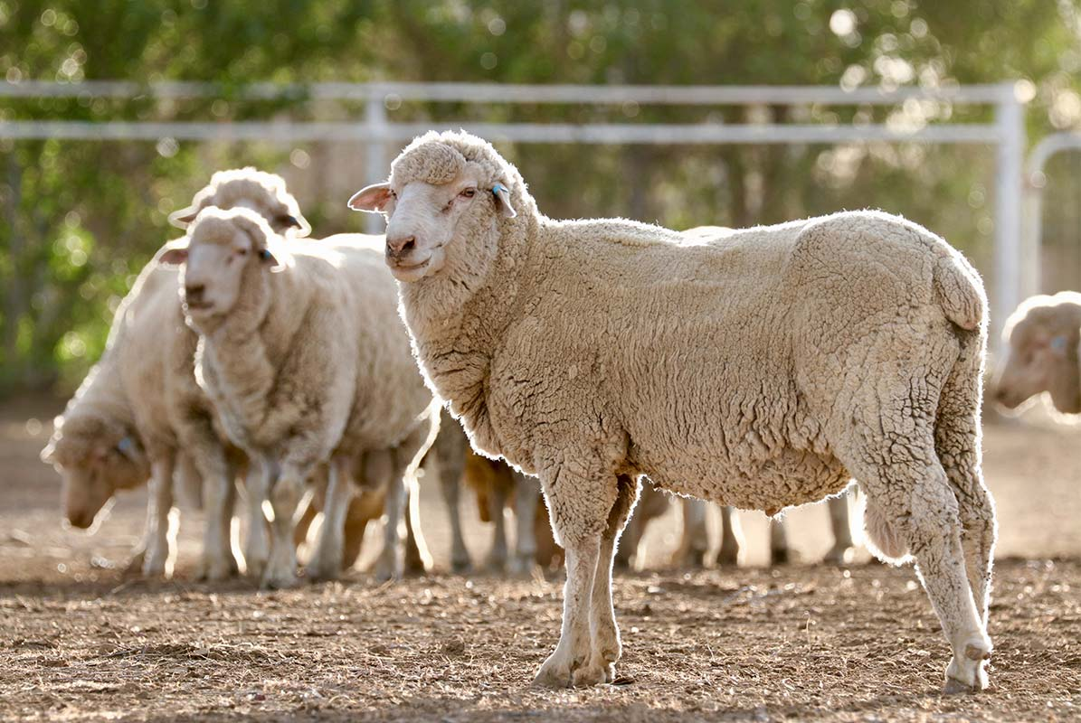 Article image for Sheep snatched: The 'real challenge' in the fight to stop livestock rustling