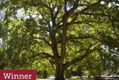Tree of the Year: Victoria's favourite tree has been named