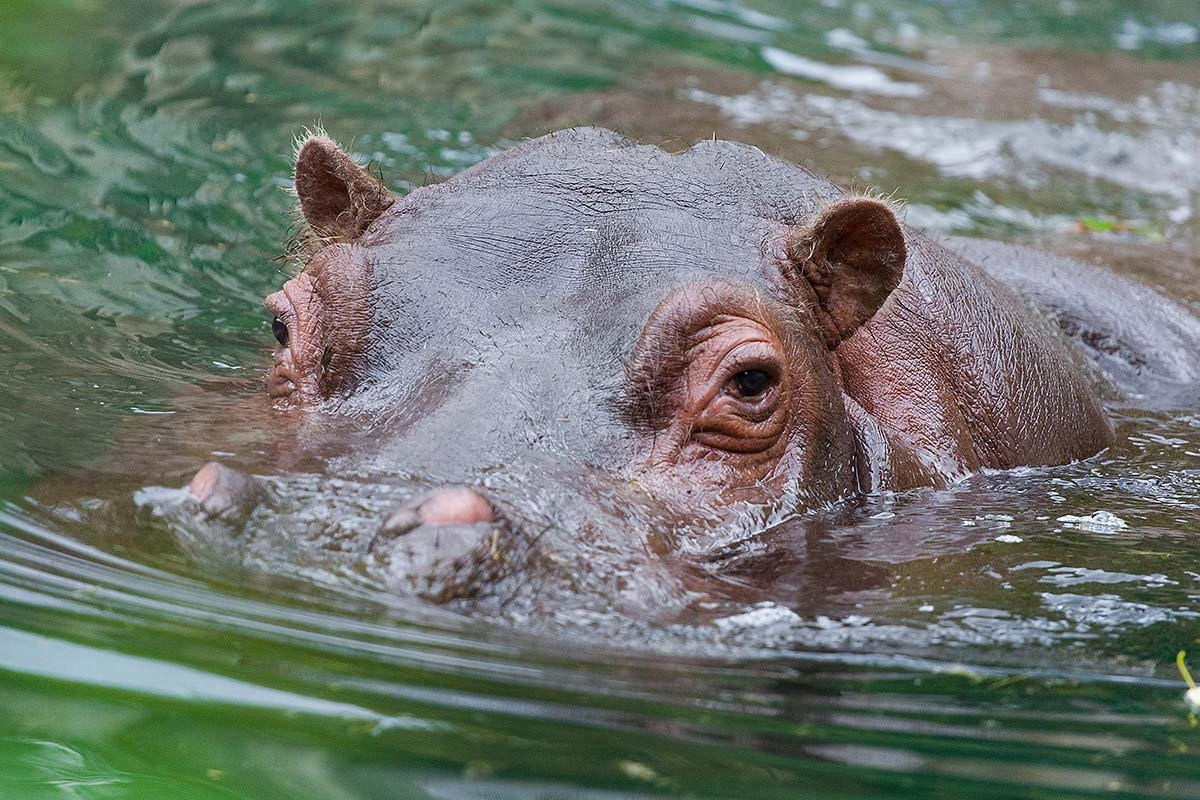Article image for Viral video: Terrifying moment sightseers were chased by hippo
