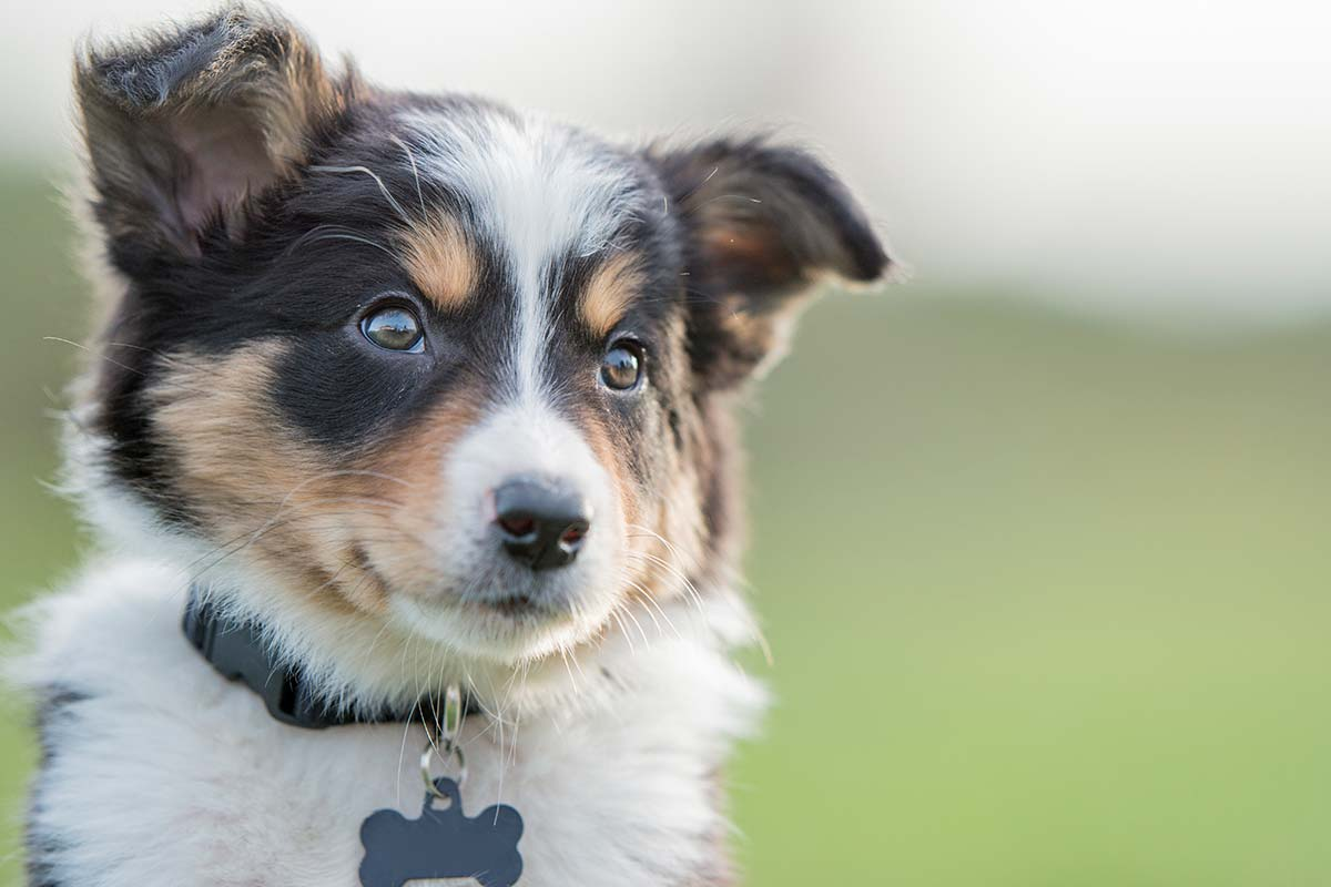 Article image for Tips for avoiding puppy scams, which have 'gone off' since the pandemic began