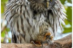 Can you help track native owls?