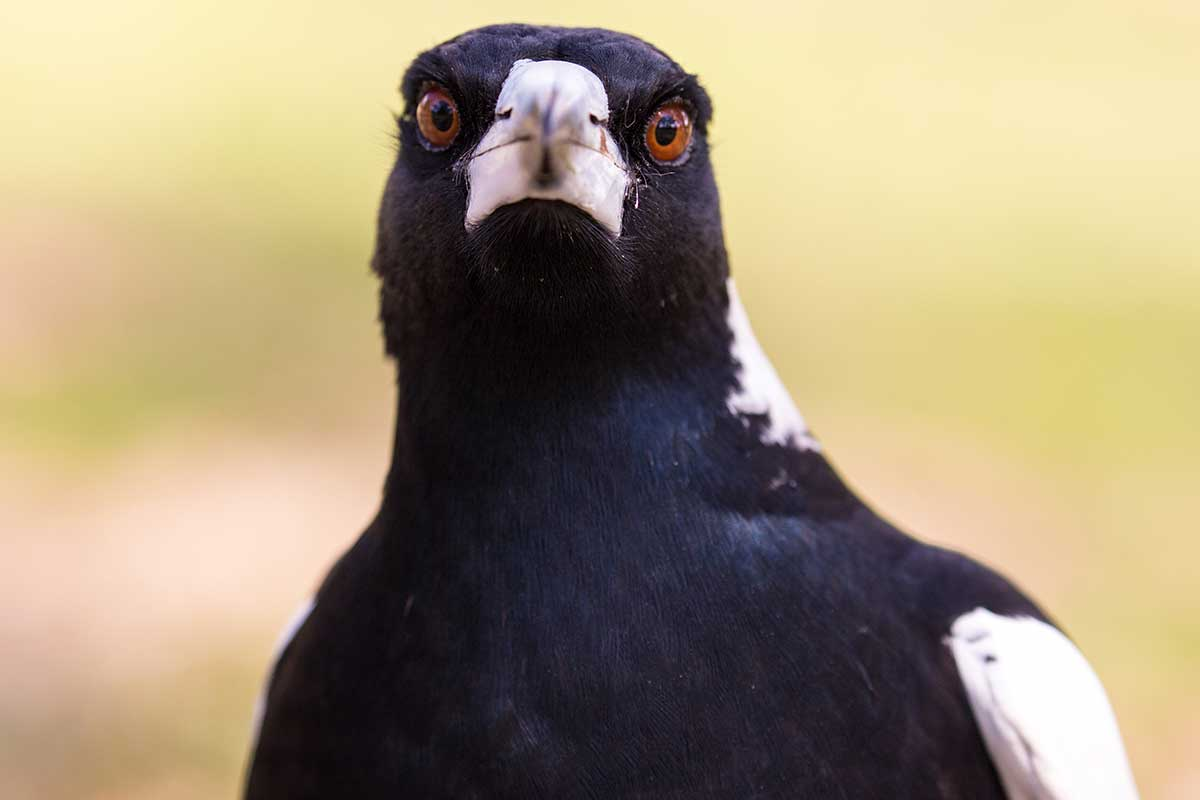 Article image for Why masks confuse magpies and the CBD seagulls have 'gone feral'